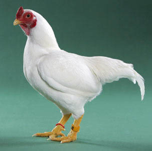 gold polish chicken
