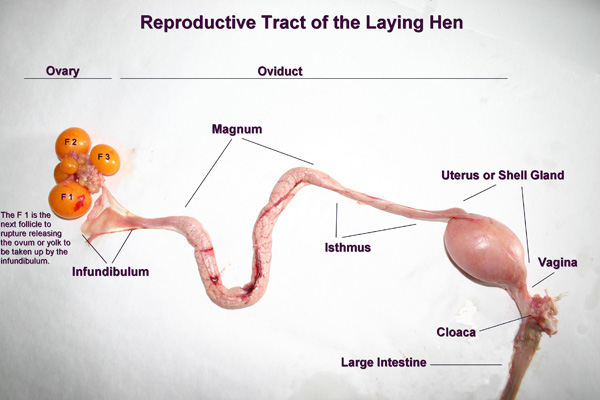 Chicken reproductive anatomy
