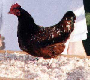 black chicken breeds