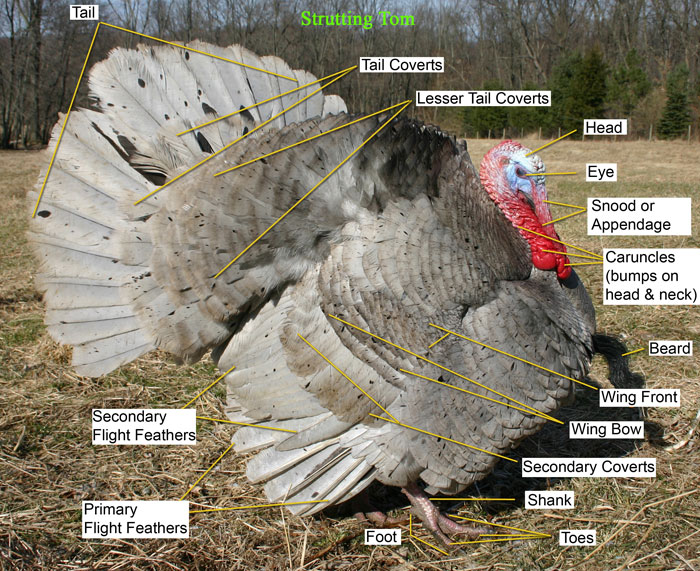 Learn the parts of a Turkey