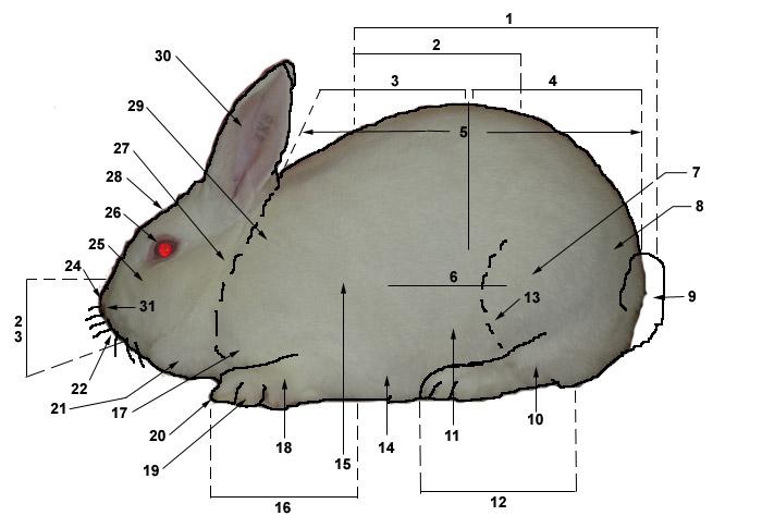 Rabbit Hind Foot Anatomy