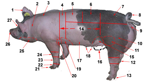 Parts Of Pig Loin http://www.geauga4h.org/swine/swine_body_test.htm